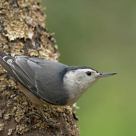 Doug Herr - White-breasted Nuthatch