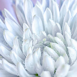White Chrysanthemum by Sandi Kroll