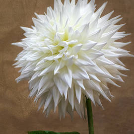 White Dahlia by Sandi Kroll
