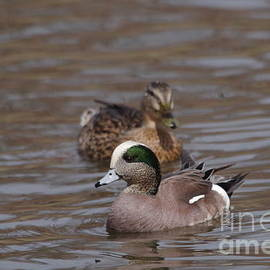 Wigeon pair by Jeff Swan