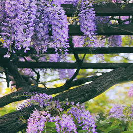 Wisteria in Bloom by Jessica Jenney