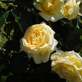 Yellow Roses by Catherine Gagne