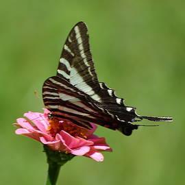 Zebra Butterfly by Mary Halpin