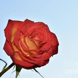10009-colorful Rose by Elvira Ladocki