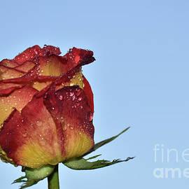 10066-beautiful Rose by Elvira Ladocki
