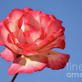 10102-colorful Rose by Elvira Ladocki