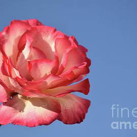 10113-colorful Rose by Elvira Ladocki