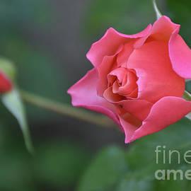 10142-beautiful Rose by Elvira Ladocki
