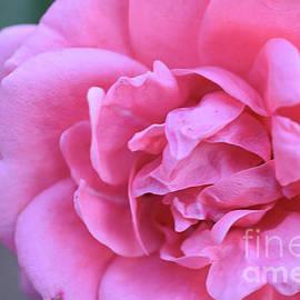 10158-pink Rose by Elvira Ladocki