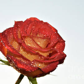 10224-colorful Rose by Elvira Ladocki