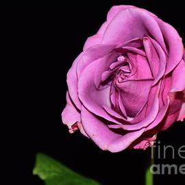10289-purple Rose by Elvira Ladocki