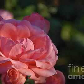 1099-pink Ose by Elvira Ladocki