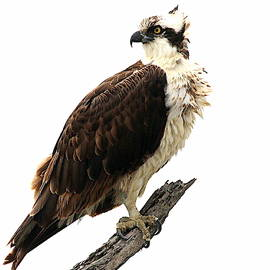 Osprey by Rob Wallace Images