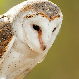 Beautiful Barn Owl by Rob D Imagery