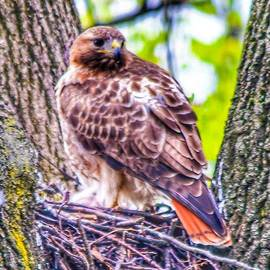 Red Tail Hawk by William Rogers