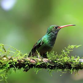 Hummingbird of Ecuador by Alex Nikitsin