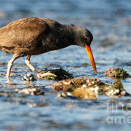 Sue Harper - Black Oystercatcher Pacific Coast