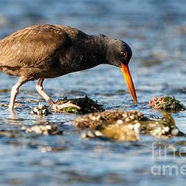 Black Oystercatcher Pacific Coast by Sue Harper