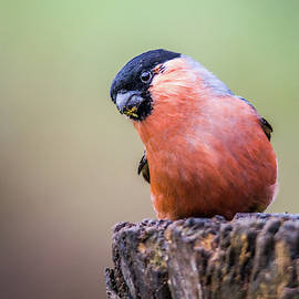 Stephen Jenkins - Bullfinch