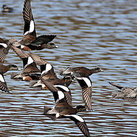 Rob Wallace Images - Flock of American wigeon
