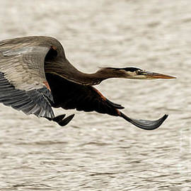 Sam Rino - Great Blue Heron