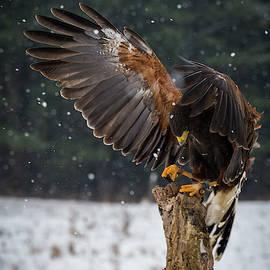 Harris's Hawk by David Hook