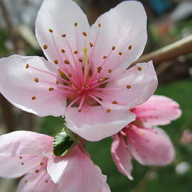 Magnificant Apricot Blossms by Paul - Phyllis Stuart