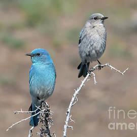 Mountain Bluebird Pair by Mike Dawson