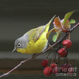 Nashville Warbler by Gary Wing