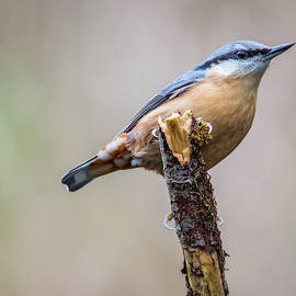 Stephen Jenkins - Nuthatch