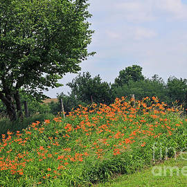 Orange Day Lilies Along A Country Road  by Paula Guttilla