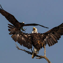 Osprey attacking Bald Eagle by Dan Ferrin