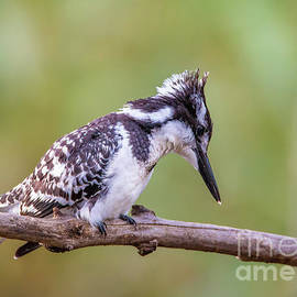 Rudi Venter - Pied Kingfisher hunting.
