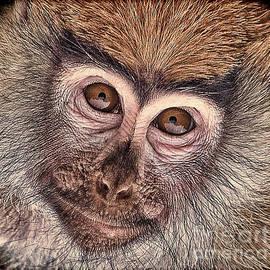 Portrait of a Baby Patas Monkey by Jim Fitzpatrick