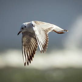 Seagull Flight by Toby Luxberg