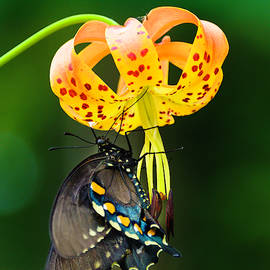 Swallowtail On Turks Cap by Donald Brown