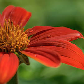 Tithonia by Lucy Banks