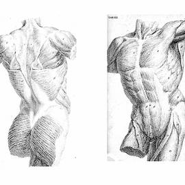 2 Views Of The Human Torso, Muscles And Internal Organs  by Steve Estvanik