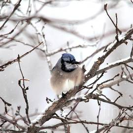 J McCombie - Blue Jay in Winter