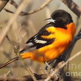 Male Baltimore Oriole Northern Race in Spring by J McCombie