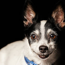 Miniature Fox Terrier by Rob D Imagery
