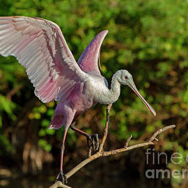 Blair Howell - Roseate Spoonbill