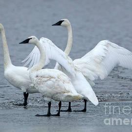 Elizabeth Winter - 3 Swans A Wintering