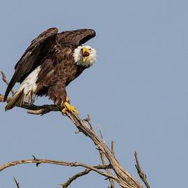 Bald Eagle  by Dan Ferrin