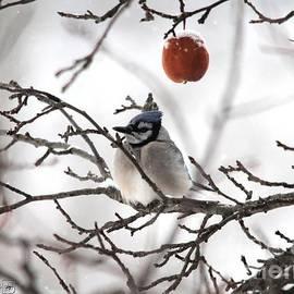 J McCombie - Blue Jay in Winter