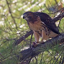 Red Tail Hawk  by Laura-Lynn Greenberg