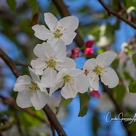 5 Crab Apple Blossoms  by Connie Allen