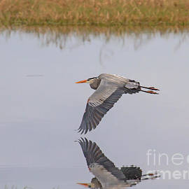 Blair Howell - Great Blue Heron