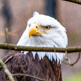 American Bald Eagle  by William Rogers