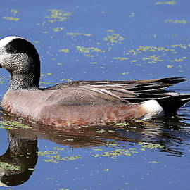 Rob Wallace Images - American Wigeon